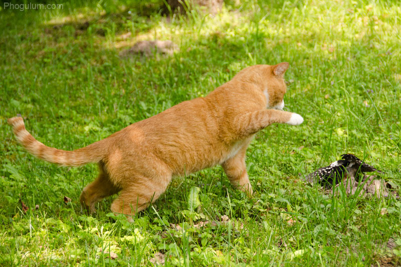Cat vs Woodpecker