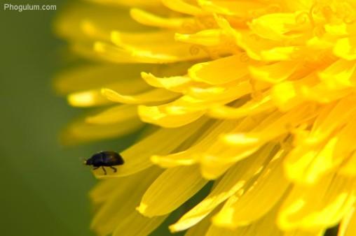 dandelionbug