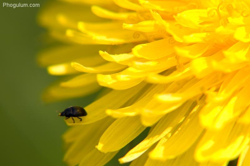 Little Bug on Dandelion
