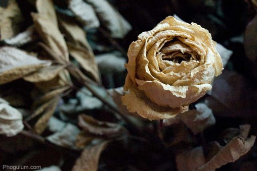 dried-rose