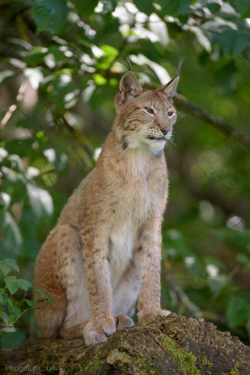 eurasian-lynx-elistvere