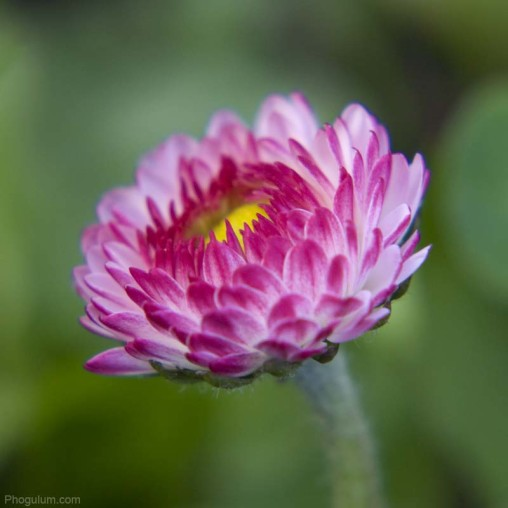 small-flower-macro-lawn-daisy