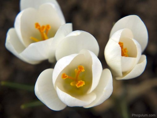 white-crocuses